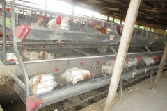 Male Chikens in the pen at CEADESE Poultry House
