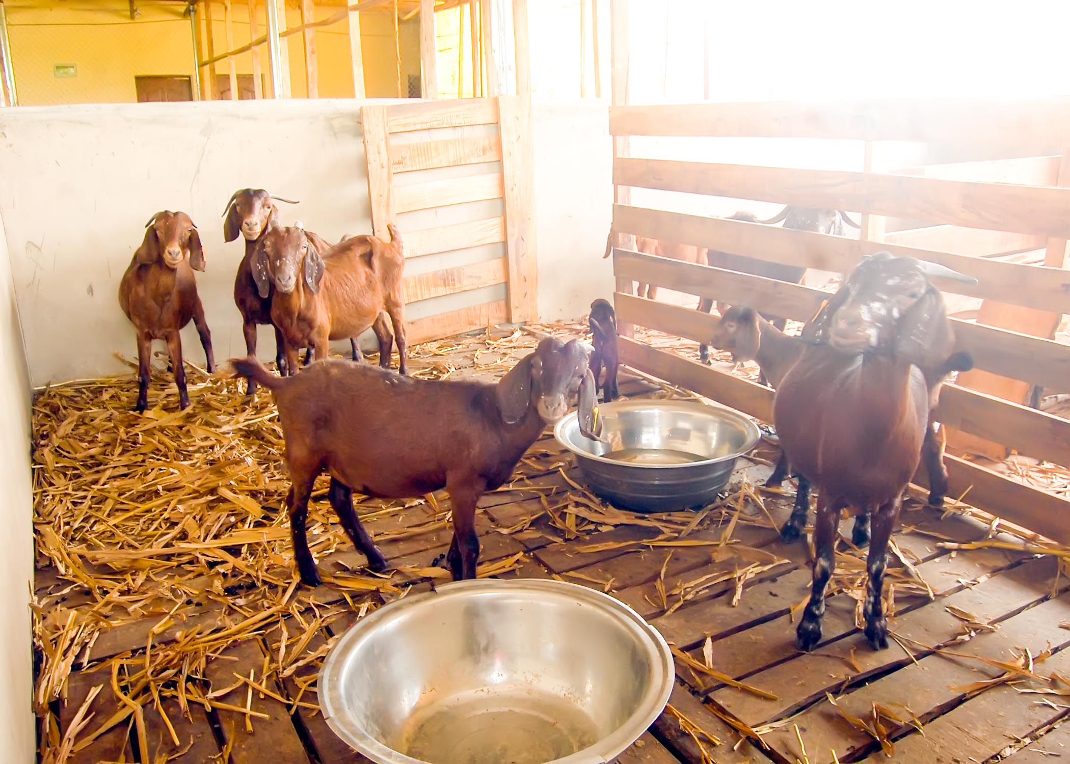 Kalahari goats in one of their rooms