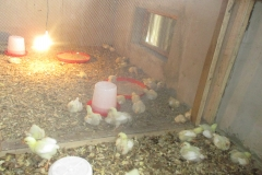 Chicks in CEADESE Poultry House