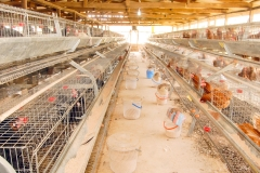 Layers in the pen at Poultry House (Interior)