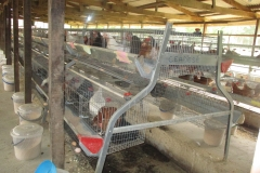 Layers in the pen at Poultry House